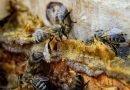 Doğadan Gelen Enfeksiyon Savarlar Bal ve Propolis